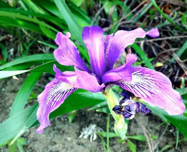 A Douglass Iris
