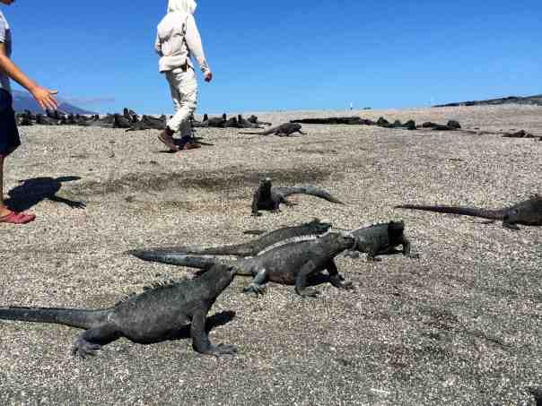 16 Monday Fernandina Walking thru Marine Iguana Village 2