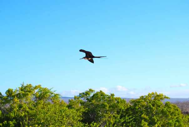 28 Saturday Las Bachas Frigate Bird 5