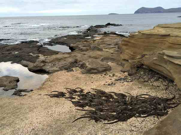 7 Wednesday Santiago Puerto Egas Marine Iguanas