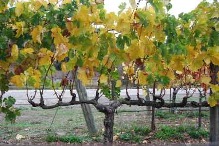 7 Thomas Jeffersons zinfandel vines