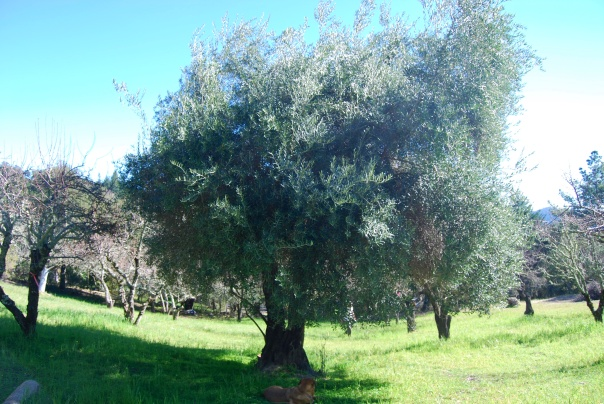 5 Olive Tree and orchard