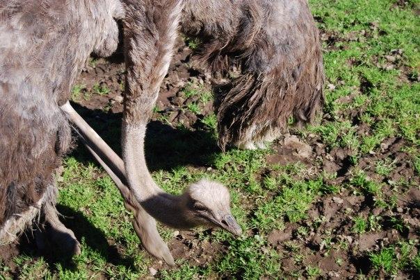 4 ostrich