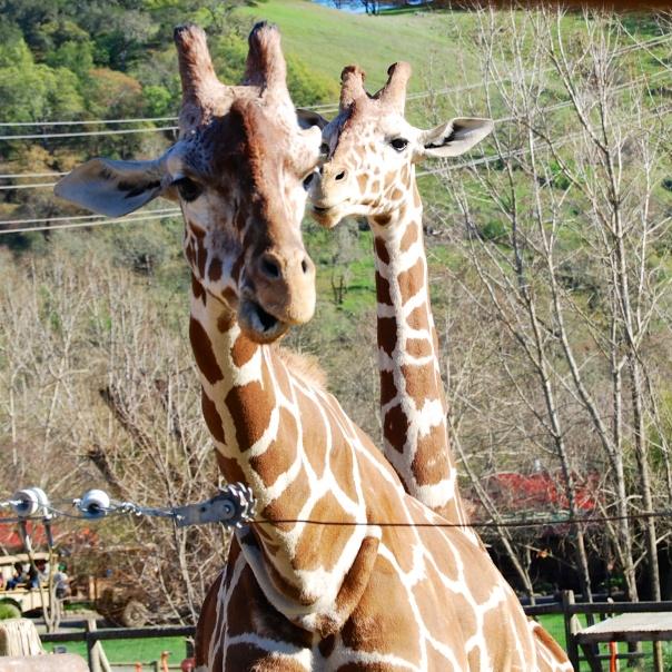 6 Giraffes