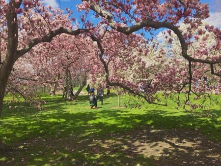tulip magnolia trees